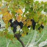 Waipara River Estate vineyard Pinot Noir ready to harvest