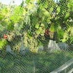 Waipara River Estate vineyard - Riesling under nets
