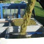 Waipara River Estate vineyard - Riesling machine harvested into bins