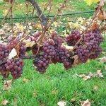 Waipara River Estate vineyard - Gewurtztraminer ready to harvest