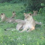 Spotting seven lions resting in the afternoon shade