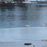 swans in January in Bobcaygeon
