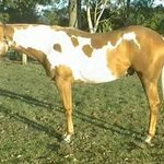 Western Dekota our Paint Quarter Horse stallion standing at Stud.