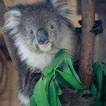 """koala in the """"special presentation"""""""