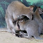 amazing to watch these joeys