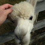 Friendly alpacas!