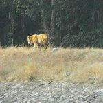 Tiger in one of our Safari