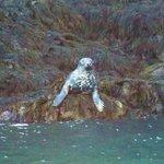 Seals at Isle Haute