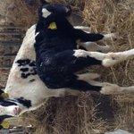 I nostri vitellini!!!!