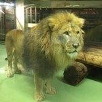 雄ライオン「リッキー」