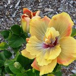 """One of the many Hibiscus on the property. I believe this one is """"Chartreuse"""""""