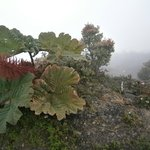 Plantes sur le volcan Poas (parapluie des pauvres)