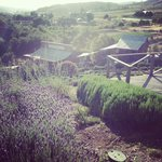 Keys Creek Lavender Farm