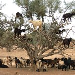 Goats in Trees on the way to Taroudant