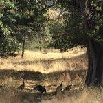 Turkeys in Madera Canyon