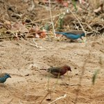 Vele vogels zoals Vuurvinken, Blauwfasantjes