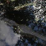 Alligator at Corkscrew Swamp