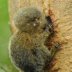 Pygmy Marmoset baby