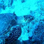 Photo of turtle taken whilst swimming alongside.