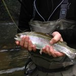 Beautiful Fall Rainbow Trout.