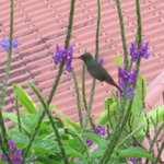 Hummingbird off our porch