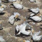Gannet baby feeding