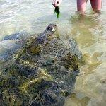 Feeding a sea turtle