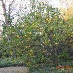 Arbol de Naranja