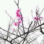 桜(緋寒桜の開花宣言)