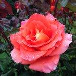Rosas do jardim da pousada
