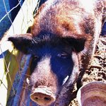 Wild Boar (OK to pat him)