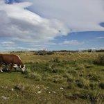 Vacas de la estancia