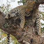 What a beauty female leopard