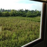 View of rice fields  from my room