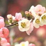 ボケの花も桜と競演