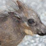 Basil, the baby warthog.