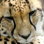 Cheetah dozing in the sun.