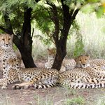 Cheetahs lounging in the noonday shade of a thorn tree.