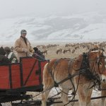 A passing Horse drawn sligh ride driver taking visitors around the National Elk Refuge in Jackso