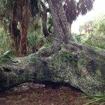 Treasure Oak found on the trail
