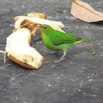 common feeder bird