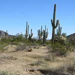 Saguaros along the road