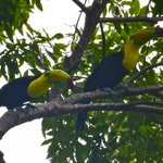 A pair of toucans