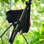 Howler Monkey on kayak tour