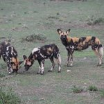 Wild dogs, VERY near Ubuntu Camp