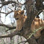 Lion cub learns to climb a tree near Ubuntu Camp