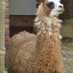Stately Llama