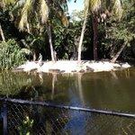 Alligator feeding show