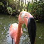 Flamingo sniffing the camera