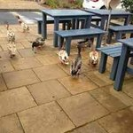 Cafe outdoor area with geese and ducks